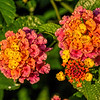 A full bouquet in a single bloom - Lantana