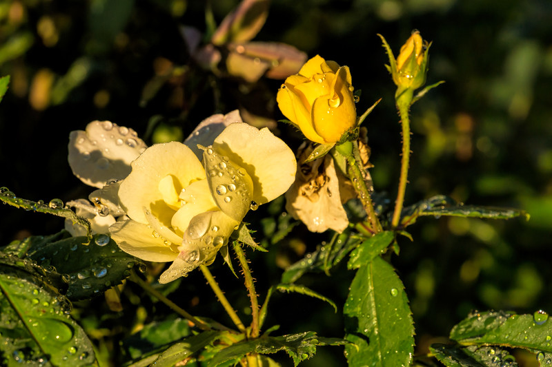 Yellow rose with shrub or bush growth habit