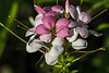Cleome with abundant dew