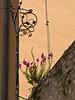 MS G23 19<br /> <br /> Flowers finding their niche on a stone wall.<br /> Ulica Grgura Mrganića<br /> <br /> Zadar, Croatia (May, 2011)