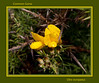 Gorse in bloom.<br /> An import from Europe, this spiny shrub has become an almost ineradicable invasive pest along the Oregon coast.<br /> <br /> Filters applied:<br /> 1) Top layer - Poster edges 30%<br /> 2) Middle layer - Accented edges 70%<br /> 3) Bottom layer - Ink outlines 100%