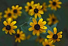 D246-2009 Unidentified composite.<br /> <br /> Face forward.  (Actually these were facing upward on short stalks)<br /> <br /> I don't think these are Black-eyed Susans.  The blooms are smaller, and the leaves smoother, darker, rounder, etc.<br /> <br /> September 3<br /> <br /> September 3, 2009<br /> Gallup Park, Ann Arbor, Michigan.