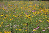 D204-2008 Composition of composites<br /> <br /> A mid-range view of the interior of a planting of native prairie wildflowers in SE Michigan.  The principle plants in bloom in late July were prairie coneflower, purple coneflower, several varieties of rudbeckia, bergamot or bee-balm, vervain; sweet cicely; Bouncing Bet and the invader, Queen Anne's Lace.  The coneflowers and rudbeckia are all composites, hence the title.  There was a small amount of native prairie grasses in the planting, but they aren't conspicuous in the photo.<br /> <br /> July 23, 2008