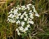 Prairie wildflower - flowering spurge