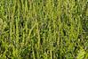 Ragweed on the prairie