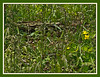 D110-2012 Unidentified wildflower inconspicuous 14b - cropped<br /> This shows a large patch of the flower.  Mostly I saw it growing as isolated plants, or in small clusters.  Look carefully and see how extremely long the styles become as the flowers age.<br /> This is a crop of the full frame, with Poster Edges filter applied to give more definition to the fine details.<br /> <br /> Nichols Arboretum, Ann Arbor, Michigan<br /> April 20, 2012<br /> (nex5n)