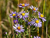 New York asters