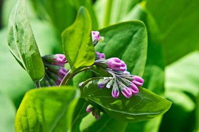 Mertensia (Virginia Bluebell)