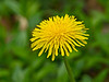 D109-2012 Dandelion (Taraxacum officinale, alien)<br /> Yellow explosion<br /> <br /> April 19, 2012<br /> (nex5n)