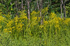 D242-2012 Great drifts of goldenrod blowing in the wind...a quintessential sight of late summer and early autumn around here.<br /> Can you find the busy bee in this shot.  It takes a keen eye!<br /> .<br /> Tall Grass Prairie at Secor Park, Toledo, Ohio.<br /> August 30, 2012
