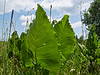 Giant leaves of prairie-dock