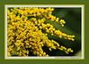 D199-2012 Early Goldenrod, Solidago juncea.<br /> .<br /> Dow Prairie, Nichols Arboretum, Ann Arbor, Michigan<br /> July 18, 2012<br /> (nex5n)