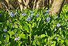 Mertensia (Virginia Bluebell)