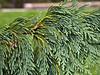 Cypress #01 04 Needle detail<br /> <br /> Weeping Nootka Cypress<br /> Xanthocyparis nootkatensis 'Pendula'  (formerly Chamaecyparis nootkatensis)<br /> Close-up of the needles.<br /> <br /> Hidden Lake Gardens, Lenawee County, Michigan<br /> September 27, 2011