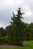 Cypress #01 01 Full shot<br /> <br /> Weeping Nootka Cypress<br /> Xanthocyparis nootkatensis 'Pendula'  (formerly Chamaecyparis nootkatensis)<br /> <br /> Conifer collection, Hidden Lake Gardens, Lenawee County, Michigan<br /> September 27, 2011