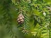 Cone, eastern hemlock