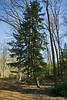 Hemlock #01 01<br /> <br /> Carolina Hemlock (Tsuga caroliniana)<br /> Family  Pinaceae  Distribution  Appalachian Mountains<br /> <br /> Laurel Grove, Nichols Arboretum<br /> April 2, 2012<br /> (nex-5)
