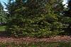 False Cypress #01 03  Base<br /> <br /> Gold Spangle Sawara False Cypress<br /> Chamaecyparis pisifera 'Gold Spangle'<br /> Family:  Cupressaceae<br /> <br /> Growing in the Harper Conifer Collection, upper part.<br /> <br /> Hidden Lake Gardens, Lenawee County, Michigan<br /> October 28, 2011