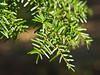 Hemlock #01 04<br /> <br /> Carolina Hemlock (Tsuga caroliniana)<br /> Family  Pinaceae  Distribution  Appalachian Mountains<br /> <br /> Laurel Grove, Nichols Arboretum<br /> April 2, 2012<br /> (nex-5)