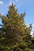 False Cypress #01 01  Full shot<br /> <br /> Gold Spangle Sawara False Cypress<br /> Chamaecyparis pisifera 'Gold Spangle'<br /> Family:  Cupressaceae<br /> <br /> Growing in the Harper Conifer Collection, upper part.<br /> <br /> Hidden Lake Gardens, Lenawee County, Michigan<br /> October 5, 2011