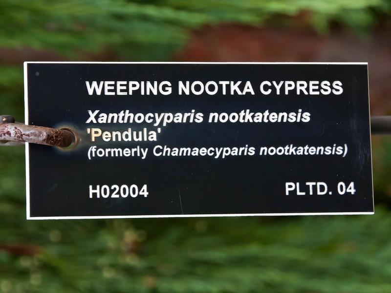 Cypress #01 00 Label<br /> <br /> Weeping Nootka Cypress<br /> Xanthocyparis nootkatensis 'Pendula'  (formerly Chamaecyparis nootkatensis)<br /> <br /> Conifer collection, Hidden Lake Gardens, Lenawee County, Michigan<br /> September 27, 2011