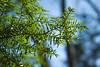 Hemlock #01 03<br /> <br /> Carolina Hemlock (Tsuga caroliniana)<br /> Family  Pinaceae  Distribution  Appalachian Mountains<br /> <br /> Laurel Grove, Nichols Arboretum<br /> April 2, 2012<br /> (nex-5)