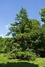 Hemlock #02 01  Tsuga canadensis, eastern hemlock<br /> Family Pinaceae     Native to eastern North America.<br /> Also called Canada hemlock as per the binomial name.<br /> <br /> Toledo Botanical Garden, Ohio<br /> June 3, 2012<br /> (nex5n)