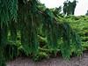 Cypress #01 03 Limb detail<br /> <br /> Weeping Nootka Cypress<br /> Xanthocyparis nootkatensis 'Pendula'  (formerly Chamaecyparis nootkatensis)<br /> Cropped to 4:3 proportion<br /> <br /> Hidden Lake Gardens, Lenawee County, Michigan<br /> September 27, 2011