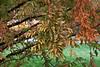 Dawn redwoods preparing to drop their needles.<br /> <br /> Toledo Botanical Garden,<br /> October, 2010.