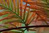 Detail, foliage of a dawn redwood.<br /> <br /> Toledo Botanical Garden,<br /> October, 2010.