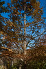 Possibly dawn redwood, metasequoia.<br /> <br /> Nichols Arboretum, Ann Arbor, Michigan<br /> November 1, 2011
