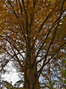 A very tall specimen of metasequoia (dawn redwood) in the process of losing its needles or leaves.<br /> <br /> Toledo Botanical Garden, Ohio<br /> November 8, 2011