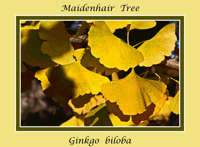 Deciduous Asian 01 00 - Ginkgo or Maidenhair Tree<br /> Ginkgo biloba<br /> Family:  Ginkgoaceae (the only species of the genus, with no known living relatives)<br /> Native to:  China
