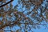 Deciduous Asian 03 04 - Drying foliage in autumn<br /> Amur Cork Tree, Phellodendron amurense<br /> <br /> Nichols Arboretum, Ann Arbor, Michigan<br /> November 1, 2011