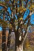Deciduous Asian 02 04 - Trunk and limb detail<br /> Japanese Zelkova, Zelkova serrata; Family Ulmaceae (elms)<br /> <br /> November 1, 2011<br /> Nichols Arboretum, Ann Arbor, Michigan