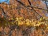 Deciduous Asian 02 02 - Japanese Zelkova foliage detail<br /> Zelkova serrata; Family Ulmaceae (elms)<br /> <br /> November 1, 2011<br /> Nichols Arboretum, Ann Arbor, Michigan