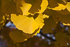 Deciduous Asian 01 03 - Ginkgo or Maidenhair Tree<br /> Ginkgo biloba<br /> Family:  Ginkgoaceae (the only species of the genus, with no known living relatives)