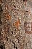 Zelkova bark detail