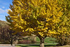 Deciduous Asian 01 01 - Ginkgo or Maidenhair Tree<br /> Ginkgo biloba<br /> Family:  Ginkgoaceae (the only species of the genus, with no known living relatives)<br /> <br /> Ginkgo's are dioecious, meaning there are two separate sexes of trees.  The female ginkgo's produce seeds whose fleshy casings contain the rancid or putrid smelling substance butanoic acid.  For this reason, most trees one sees planted for landscape purposes are males, which produce small pollen-bearing cones.  This is a female, as revealed by photos in other years of fallen fruit.<br /> <br /> This individual is planted at the south end of the main parking area.<br /> Hidden Lake Gardens, Lenawee County, Michigan<br /> October 28, 2011