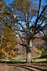 Deciduous Asian 03 01<br /> Amur Cork Tree, Phellodendron amurense<br /> <br /> Nichols Arboretum, Ann Arbor, Michigan<br /> November 1, 2011