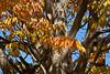 Deciduous Asian 02 03 - Foliage and bark detail<br /> Japanese Zelkova, Zelkova serrata; Family Ulmaceae (elms)<br /> <br /> November 1, 2011<br /> Nichols Arboretum, Ann Arbor, Michigan