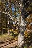 Deciduous Asian 03 03 - Trunk and limb detail<br /> Amur Cork Tree, Phellodendron amurense<br /> <br /> Nichols Arboretum, Ann Arbor, Michigan<br /> November 1, 2011