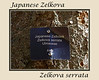 Deciduous Asian 02 00 - Japanese Zelkova<br /> Zelkova serrata; Family Ulmaceae (elms)