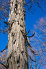 Shaggy bark on a shagbark hickory