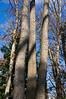 D309-2012 Three trunks with a shared base.  Wild black cherry trees.<br /> .<br /> Toledo Botanical Garden, Ohio<br /> November 5, 2012