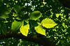 Carpinus caroliniana (American hornbeam), aka ironwood and musclewood<br /> <br /> Toledo Botanical Garden, Ohio<br /> June 3, 2012<br /> (nex5n)
