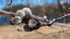 D088-2013  Quaking Aspen catkins (Populus tremuloides)<br /> <br /> Island in Huron River at Gallup Park,<br /> Ann Arbor<br /> March 29, 2013