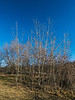 Quaking aspens in early spring