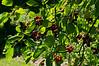 Serviceberry fruit, looking superficially like cherries.<br /> <br /> Toledo Botanical Garden<br /> June 6, 2012<br /> (nex5n)