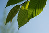 Backlit leaves of a hornbeam or ironwood tree.<br /> <br /> May, 2011.